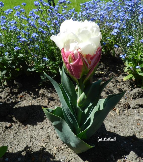 Tulipan,Ice Cream,