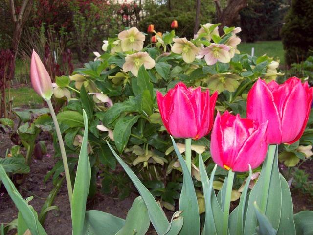 tulipany na tle ciemiernika