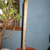 Amorphophallus konjac (Dziwidło)