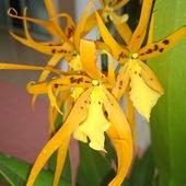 Brassada Mivada - Ada arauntiaca x Brassia brachiata