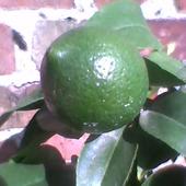 Cytryna Meyera-owoc na drzewku