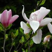 czas magnolii