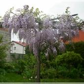 Drzewko - glicynia...