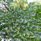 Drzewo Chusteczkowe-Dawidia Chińska