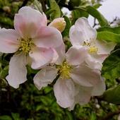 Jabłonie, kwitnące jabłonie. . . . . .