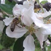 Jabłonkowe kwiecie