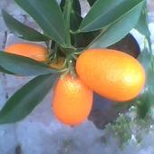 Kumkwat Margarita dojrzałe owoce