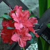 kwiat azali
