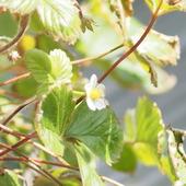 Kwiat posiomki