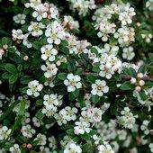 Kwiaty irgi