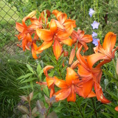kwitnąca lilia
