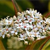 Kwitnienie derenia...