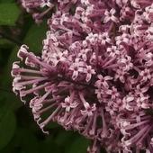Lilakowy zapach na miły wieczór...