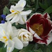 Pachnące narcyzy i tulip