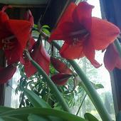 Piekna czerwień