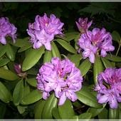 Rododendron wieczorkiem...