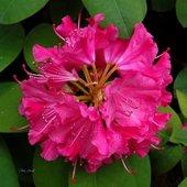 Różanecznik, azalia
