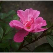 Różyczka...