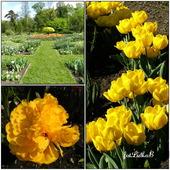 Tulipany-Ogród Botaniczny w Krakowie