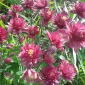 Zakwitły różowe orliki