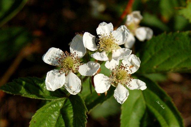 Kwiat jeżyny