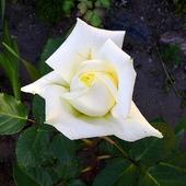 Biała dama :)