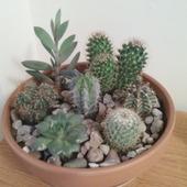 małe kaktusiki