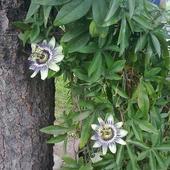 Pierwsze kwiaty passi