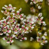Skalnica liścieniowa