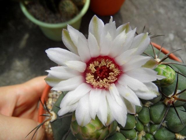kwiat Gymnocalycium pflanzii