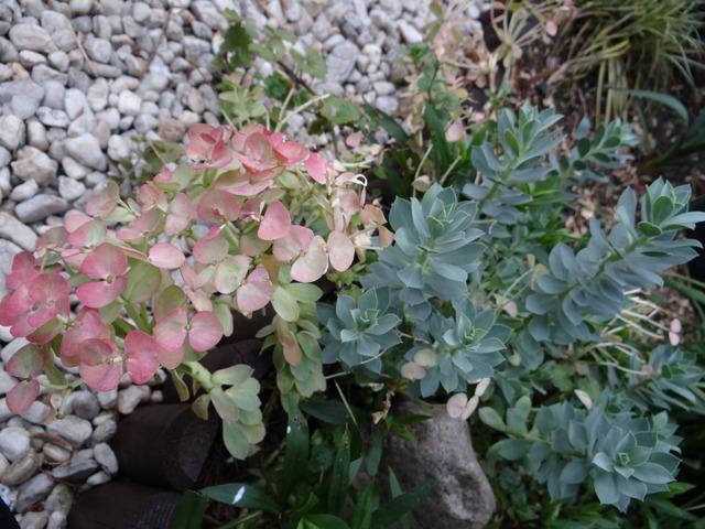 Kwiaty wilczomlecza po raz pierwszy nabrały różowego koloru
