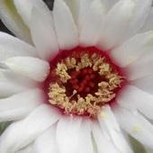 Gardziołko Kwiatu
