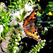 Jest liatra, to i motylki są :)
