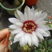 Kwiat Gymnocalycium