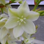 Kwiat Juki :) Dziwni