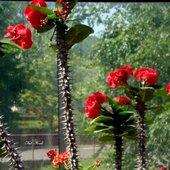 kwiaty kaktusów