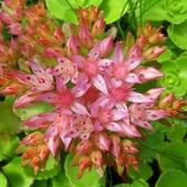 Kwiaty Rozchodnika :