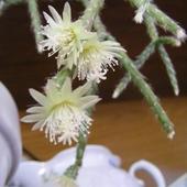 Rhipsalis ... małe kwiatuszki, ale jakie śliczne :)