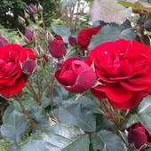 Róże ....