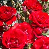 Róże ...
