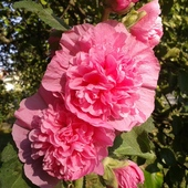 Różowa piękność ......:)