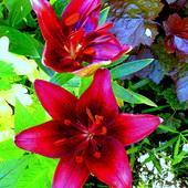 Szczególna lilia :)