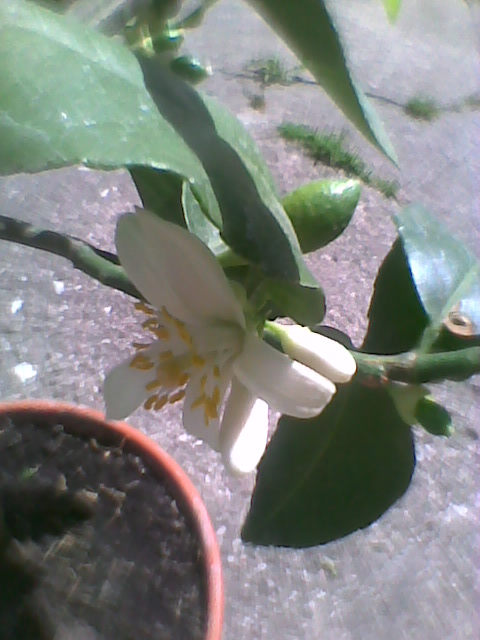 Cytryna Vulcan Lemon-zawiązki owoców i kwiaty