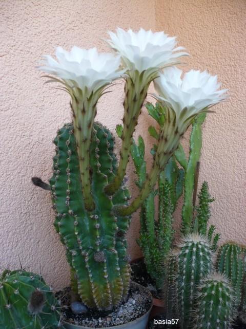 Echinopsis eyriesi