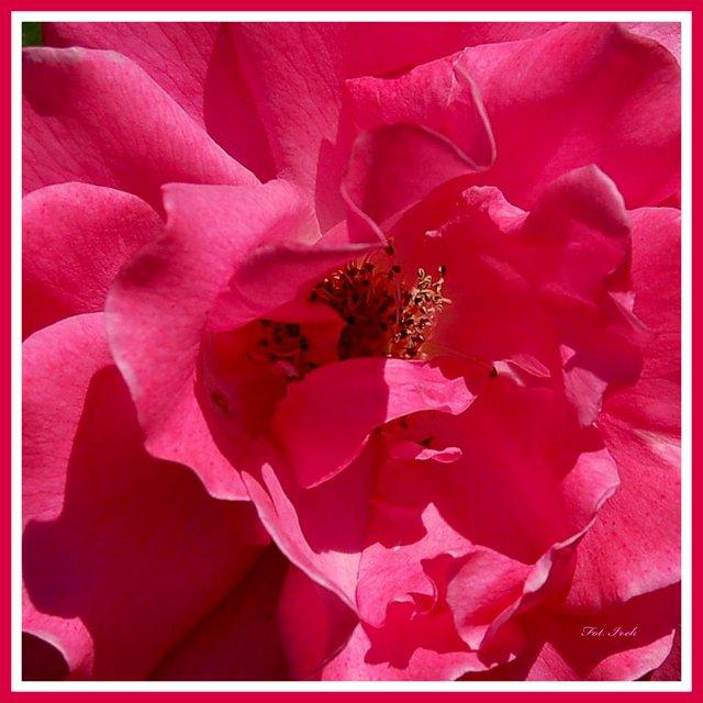 Róża, makro