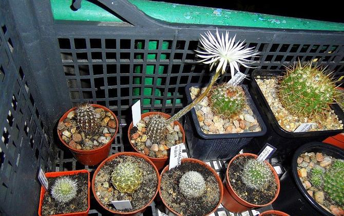 setiechinopsis mirabilis pierwsze kwitnienie