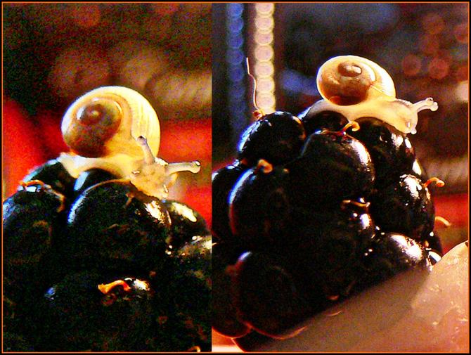 Ślimaczek na owocu jeżyny