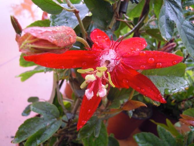 czerwona pasiflora