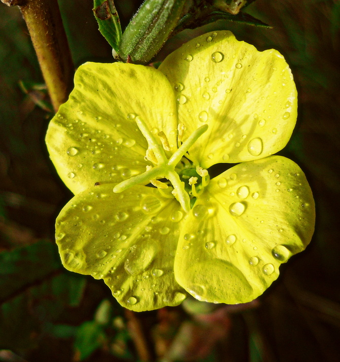 Wiesiołek po deszczu