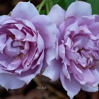 Dwie róże niebieskie